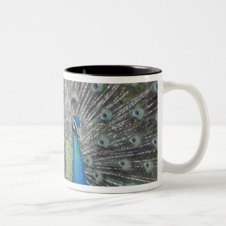 South America, Venezuela,  Peacock displaying Two-Tone Coffee Mug