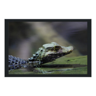 South American Caiman Posters