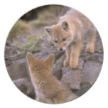 South American Gray Fox (Lycalopex griseus) pair Dinner Plate