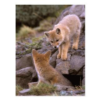 South American Gray Fox (Lycalopex griseus) pair Postcard