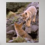 South American Gray Fox (Lycalopex griseus) pair Poster