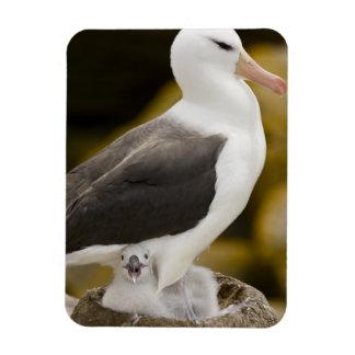 South Atlantic, Falkland Islands, New Island. 2 Rectangular Photo Magnet