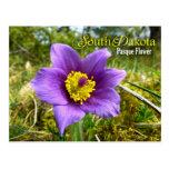 South Dakota State Flower: Pasque Flower Postcard