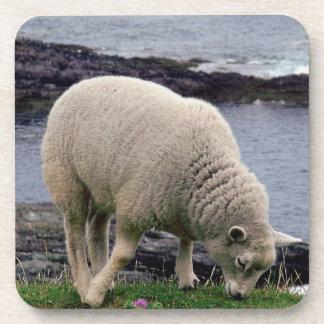 South Devon Coast  Lamb Grazeing On Cliff Edge. Coaster