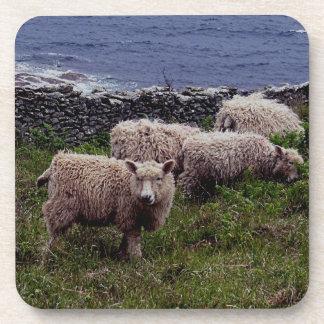 South Devon Coast Long Wool Sheep & Lambs Grazeing Coaster