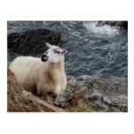 South Devon Coast Sheep On Rocks Looking Postcard