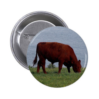 south devon cow on remote coastline button