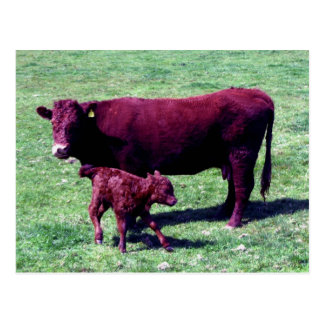South Devon Ruby Red Cow And Young Calf Postcard