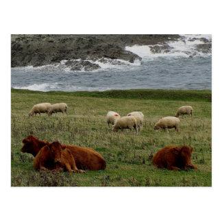 South Devon Sheep and Cows on wild coastline Postcard