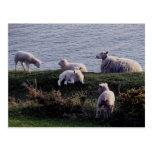 South Devon Sheep And Lambs On Remote Coastline Postcard