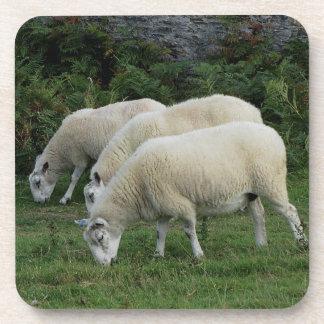 South Devon Three Sheep Grazeing In Line Coaster