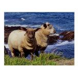 South Devon Two Lambs On Coast Path Cliff Edge Postcard