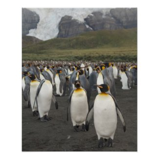 South Georgia Island, Gold Harbor. King penguin 2 Print