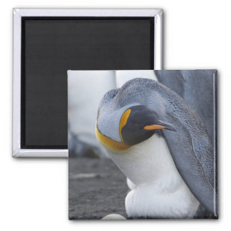 South Georgia Island, Gold Harbor. King penguin 3 2 Inch Square Magnet