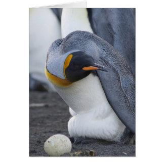 South Georgia Island, Gold Harbor. King penguin 3 Card