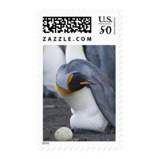 South Georgia Island, Gold Harbor. King penguin 3 Postage