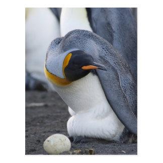 South Georgia Island, Gold Harbor. King penguin 3 Postcard