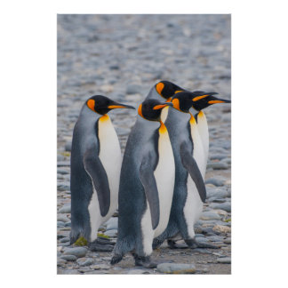 South Georgia. King penguins Poster
