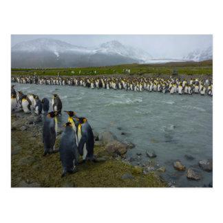 South Georgia. Saint Andrews. King penguin 7 Postcard