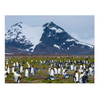 South Georgia. Salisbury Plain. King penguins 1 Postcard