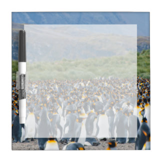 South Georgia. Salisbury Plain. King penguins 3 Dry-Erase Board