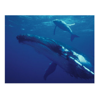 South Pacific, Tonga. ballena jorobada y becerro Postal