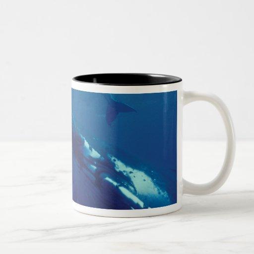 South Pacific, Tonga. ballena jorobada y becerro Tazas De Café