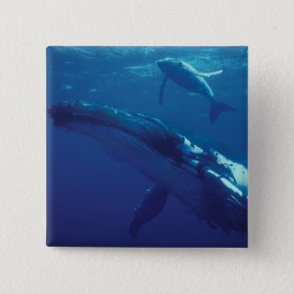 South Pacific, Tonga. humpback whale and calf Button