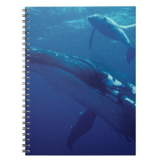 South Pacific, Tonga. humpback whale and calf Spiral Notebook
