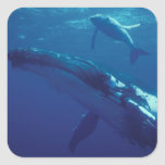 South Pacific, Tonga. humpback whale and calf Square Stickers