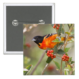 South Padre Island, Texas, USA, Baltimore Oriole Pinback Buttons