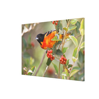 South Padre Island, Texas, USA, Baltimore Oriole Stretched Canvas Print