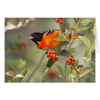 South Padre Island, Texas, USA, Baltimore Oriole Greeting Cards