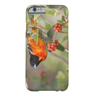 South Padre Island, Texas, USA, Baltimore Oriole Barely There iPhone 6 Case