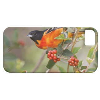 South Padre Island, Texas, USA, Baltimore Oriole iPhone 5 Cases