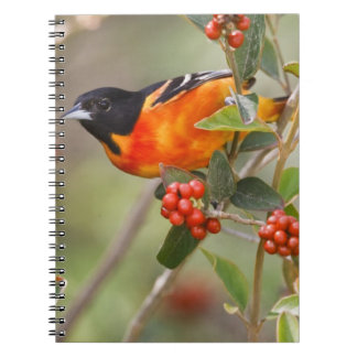 South Padre Island, Texas, USA, Baltimore Oriole Notebooks