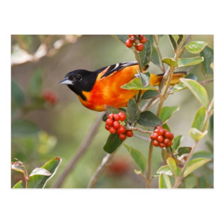 South Padre Island, Texas, USA, Baltimore Oriole Postcard