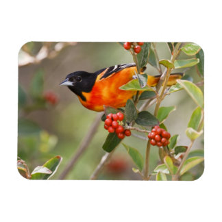 South Padre Island, Texas, USA, Baltimore Oriole Rectangular Magnets