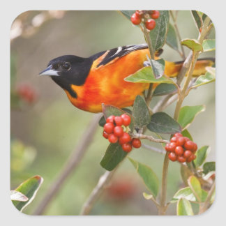 South Padre Island, Texas, USA, Baltimore Oriole Stickers