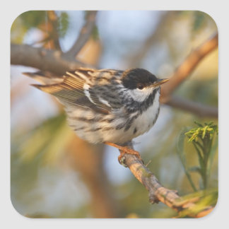 South Padre Island, Texas, USA, Blackpoll Square Stickers
