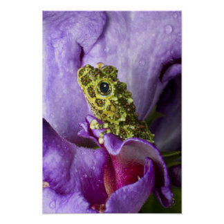 Southeast Vietnam. Close-up of mossy tree frog Posters