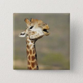 Southern African giraffe (Giraffa camelopardalis Button