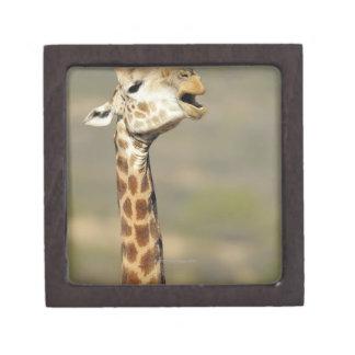 Southern African giraffe (Giraffa camelopardalis Gift Box