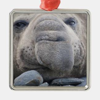 Southern Elephant Seal Mirounga leonina) 2 Metal Ornament