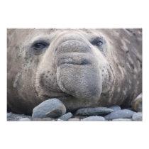 Southern Elephant Seal Mirounga leonina) 2 Photo Print