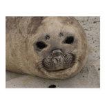 Southern Elephant Seal Mirounga leonina) 3 Postcard
