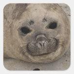 Southern Elephant Seal Mirounga leonina) 3 Square Sticker