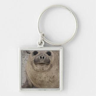 Southern Elephant Seal Mirounga leonina) Keychain