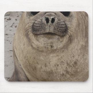 Southern Elephant Seal Mirounga leonina) Mouse Pad