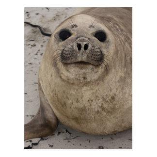 Southern Elephant Seal Mirounga leonina) Post Cards